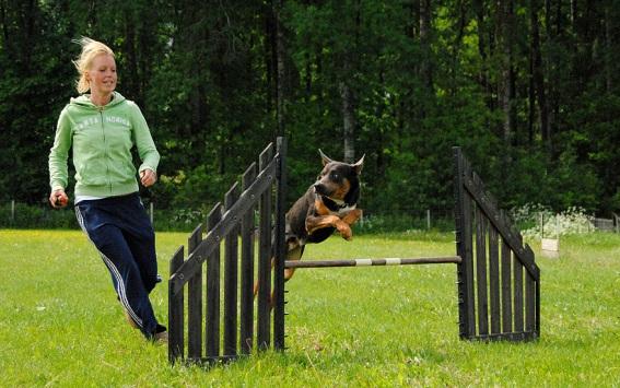 Agilityhunden Jax