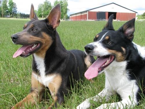 varma-hundar