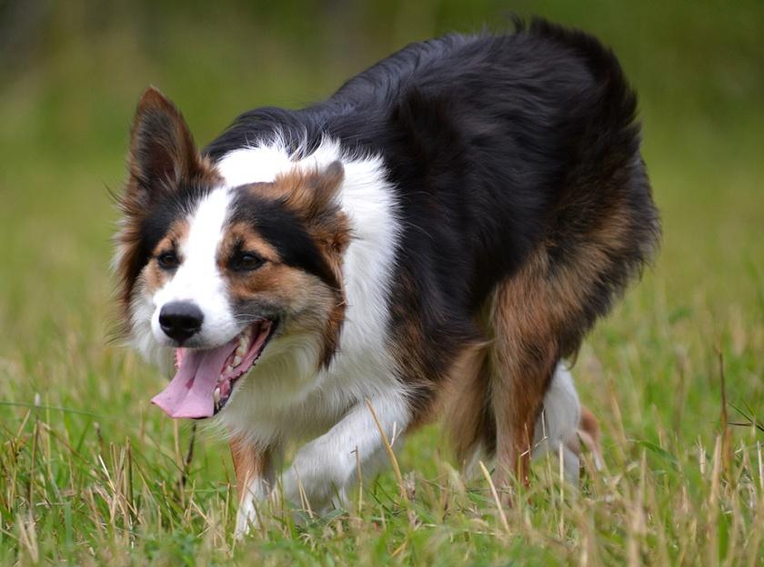 Khim_sheepdog4
